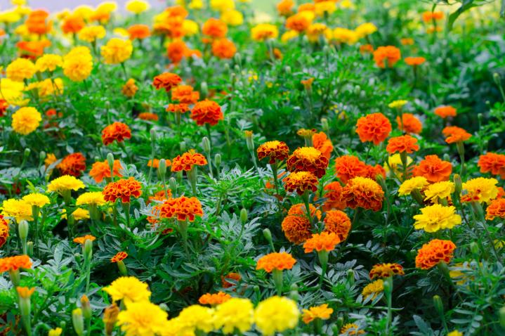 Flores De Zanahoria / Corteza exterior, las flores de color blanco, con largas brácteas en su base, agrupadas en 3.